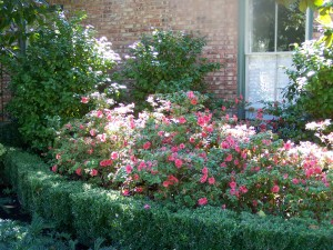 azaleas at house